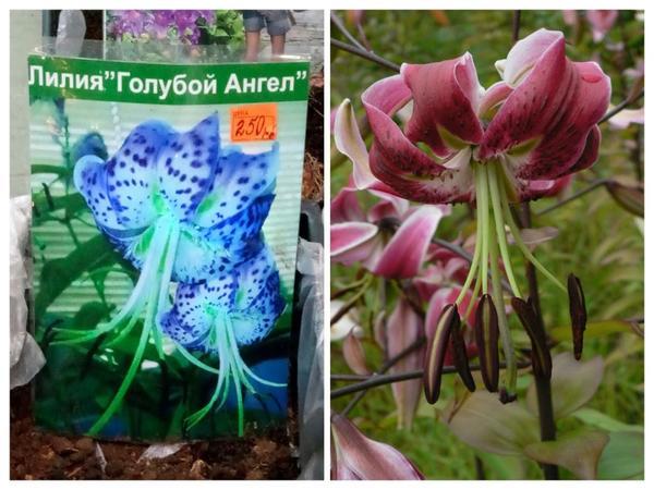 Слева: это обычная видовая лилия Speciosum Rubrum, которую перекрасили в сине-голубой цвет. Справа: а вот как на самом деле выглядит эта лилия.