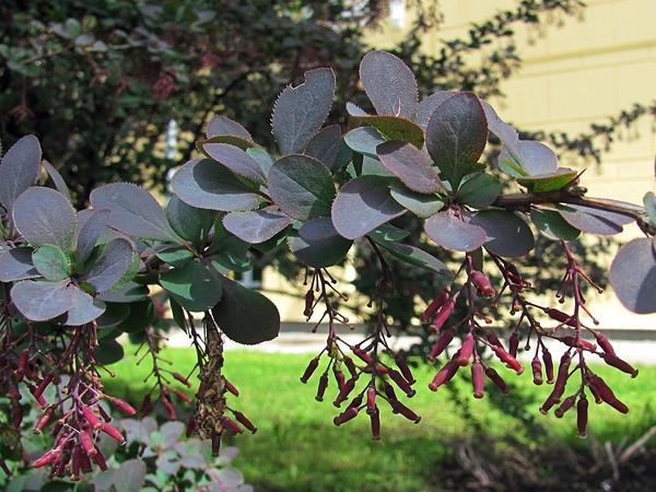 Барбарис Тунберга Atropurpurea. Фото с сайта archiland.biz
