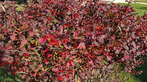Чтобы размножить барбарис семенами, нужны спелые ягоды