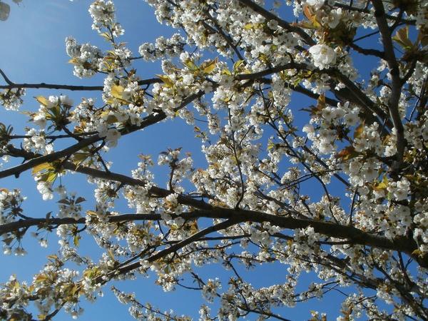 После цветения деревья поливают