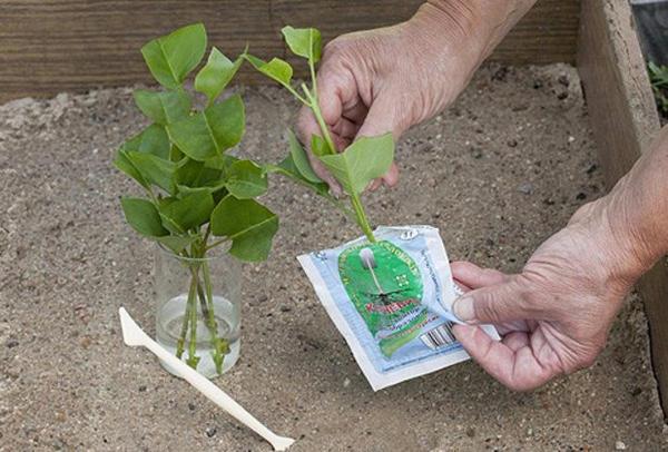 Размножение сирени черенками. Фото с сайта agronomu.com