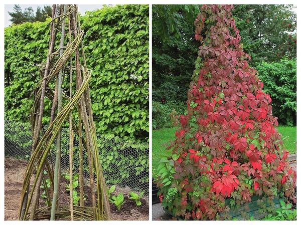 Слева: на создание зеленой башни вам понадобится совсем немного времени и сил. Справа: девичий виноград - отличный озеленитель.