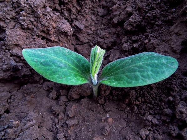 Для выращивания тыквы подходит и рассадный способ