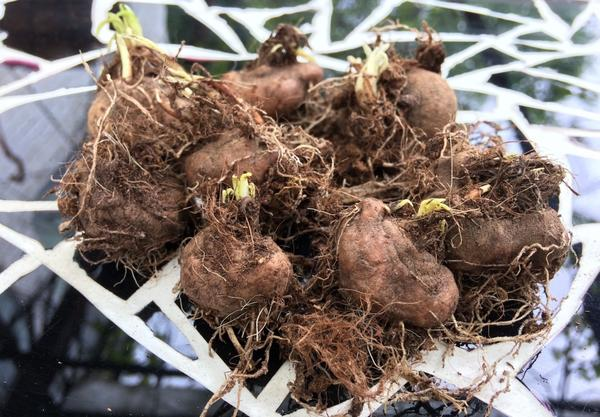 Клубни лиатриса. Фото пользователя herbivicus.