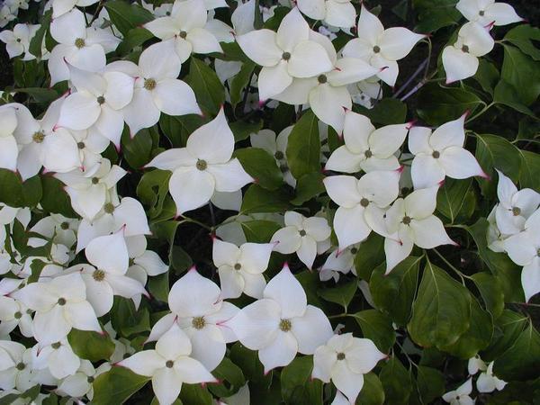 Цветение дерена Коуза. Фото с сайта onlinetrees.com.au
