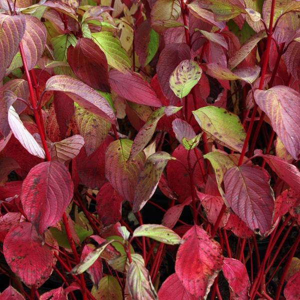 Главное достоинство этого сорта - кора яркого красного цвета. Фото с сайта cornishgardennurseries.co.uk