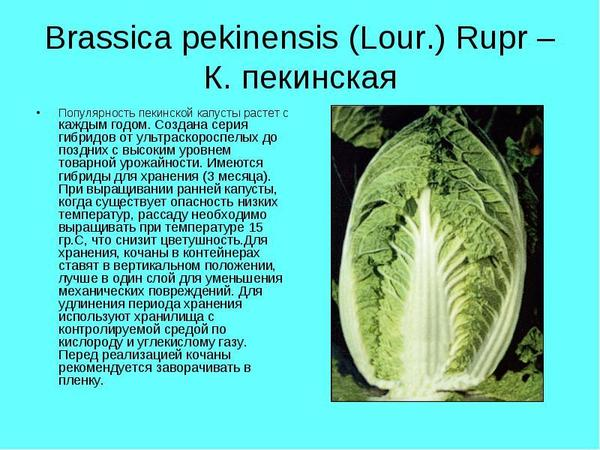 Краткая характеристика пекинской капусты. Фото с сайта nashaucheba.ru
