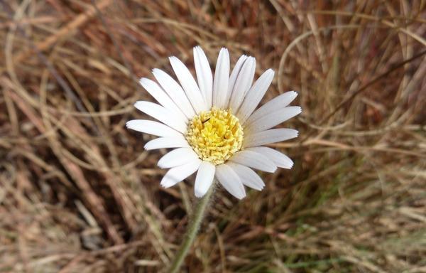 Gerbera viridifolia. Фото: JMK, en.wikipedia.org