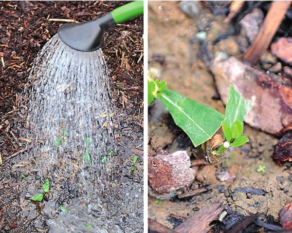 7. Первую неделю поливайте посадки теплой водой до 5 раз в день. 8. Через 3-4 недели после посадки черенки укоренятся.