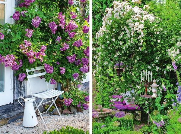 Слева: Плетистая роза 'Kiftsgate Violett'. Справа: Рамблер 'Lykkefund'