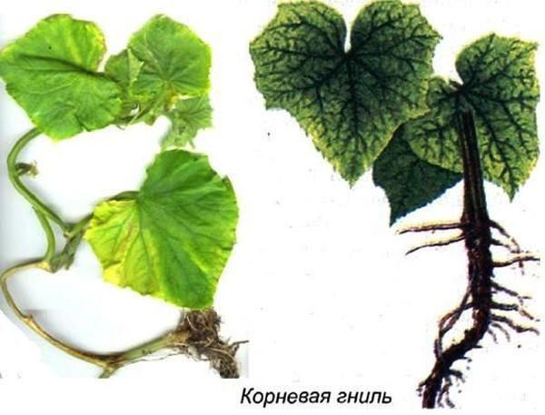 Корневая гниль. Фото с сайта elektro-sadovnik.ru