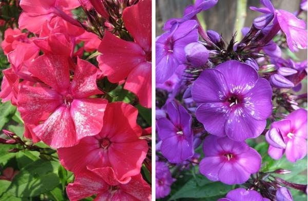 Заражённые цветки, как правило, и в бутонах уже имеют характерное искажение цвета