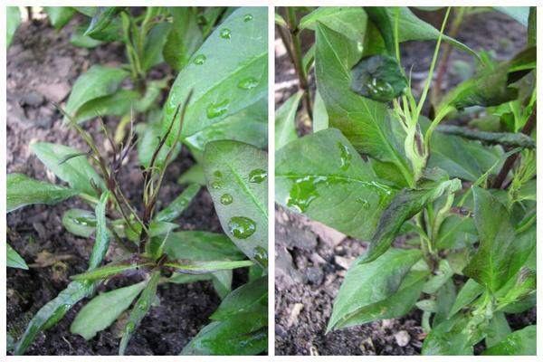 Весной нематода поднимается вверх и поражает растения