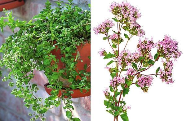 Слева: В защищенном от ветра месте у майорана появляются мощные побеги. Справа: Душица менее чувствительна к холоду. Ее розово-красные цветки источают сильный пряный аромат, а запах свежих листьев более умеренный.