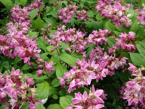 Дейция розовая. Фото с сайта polisadnik.com