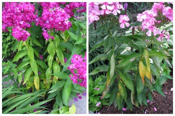 У абсолютно здорового на вид флокса вдруг начинает увядать листва, несмотря на обильный полив