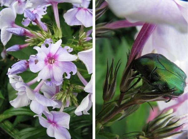 Слева: гусеницы и озимые совки прогрызают дырки в бутонах. Справа: бронзовка золотистая