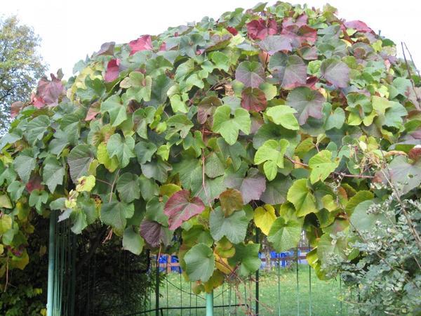 Виноград амурский (Vitis amurensis). Фото с сайта treespk.ru
