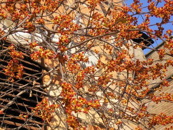 Плоды древогубца круглолистного. Фото с сайта botsad.ru