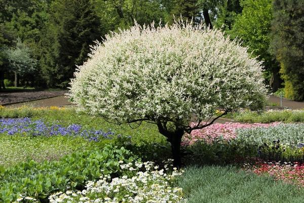 Стрижка придаёт этим деревьям особый колорит