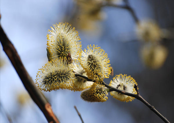 Ива козья (Salix caprea). Фото: Марина Скотникова, plantarium.ru