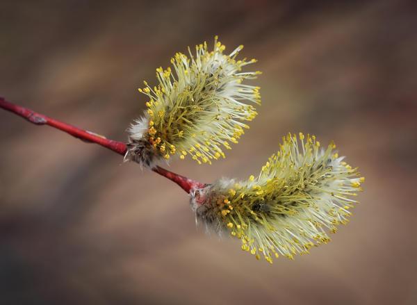 Ива остролистная (Salix acutifolia). Фото: Игорь Павлов, plantarium.ru