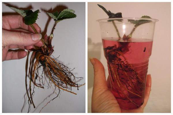 Слева: саженец садовой земляники. Справа: выдержка в марганцовке