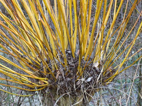 Ива лозная, она же корзиночная или прутовидная (Salix viminalis)