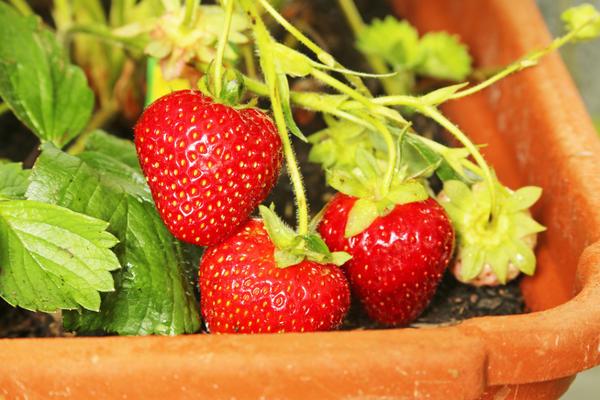Как вырастить садовую землянику в домашних условиях