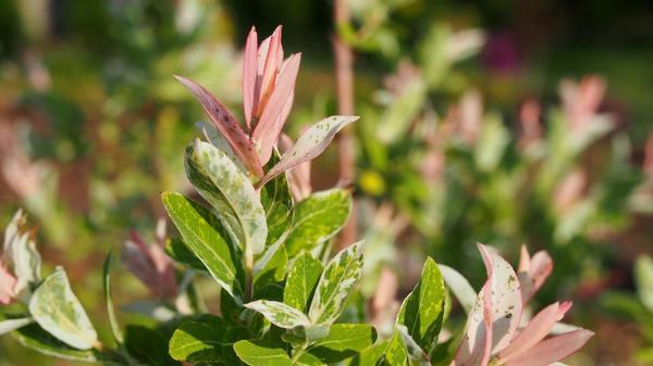 Ива цельнолистная (Salix integra) Hakuro Nishiki