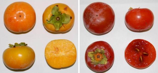 Слева: плоды сорта Россиянка. Справа: Никитская бордовая. Фото: scbook.nbgnscpro.com