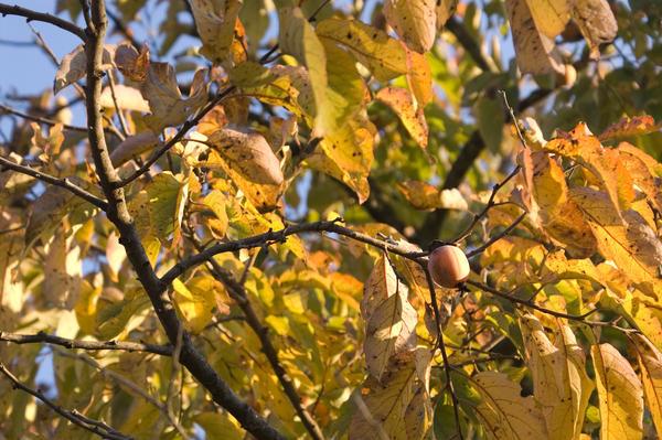 Хурма виргинская. Фото: Gphoto, en.wikipedia.org