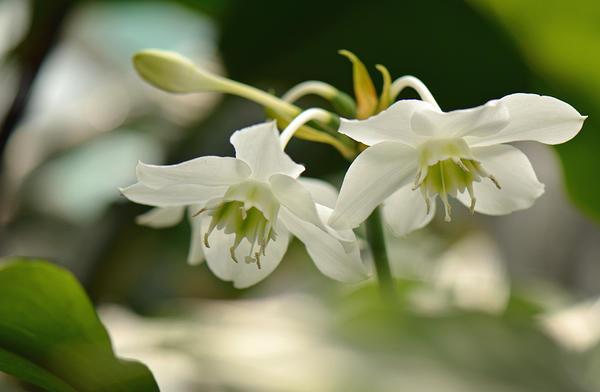 Эухарис крупноцветковый (Eucharis grandiflora). Фото с сайта plantsvideoworld.ru