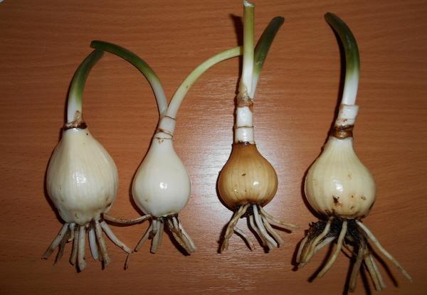 Луковицы эухариса. Фото: olga0703, darudar.org
