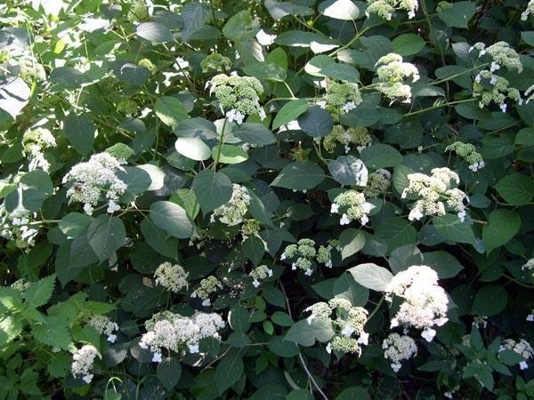 Гортензия пепельная, или серая (Hydrangea cinerea). Фото с сайта dachni-rady.com