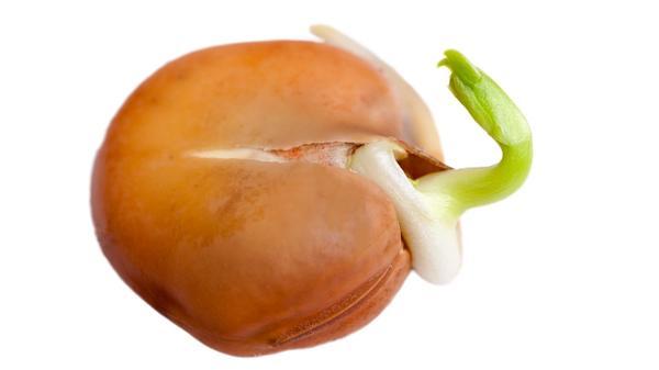 Попытка улучшить обработанные семена может привести к потере всхожести