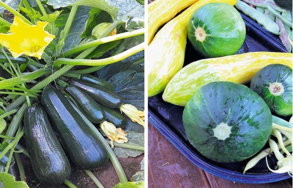 Слева: Кабачок Цукеша (Русский Огород). Справа: Кабачок F1 Теща хлебосольная (СеДек)