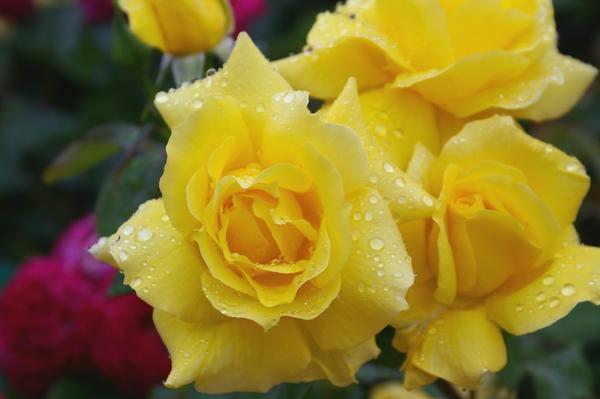 Шикарная роза флорибунда Anthonie Meilland, фото автора