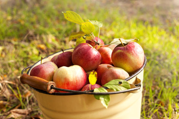 В самом разгаре уборка яблок