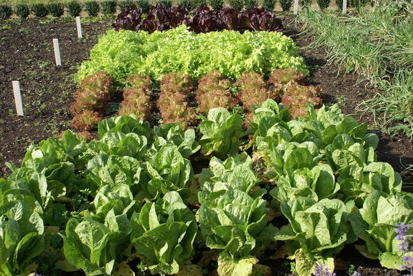В конце лета можно вновь наполнить огород яркой, вкусной и полезной зеленью