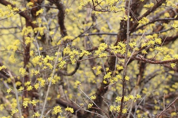 Цветки кизила рано распускаются