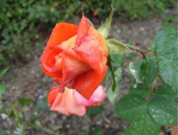 Роза сорт Nina Weibull, 2 октября