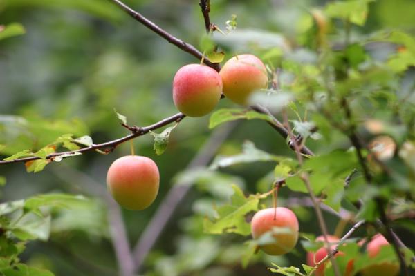 Снимаем райские яблочки