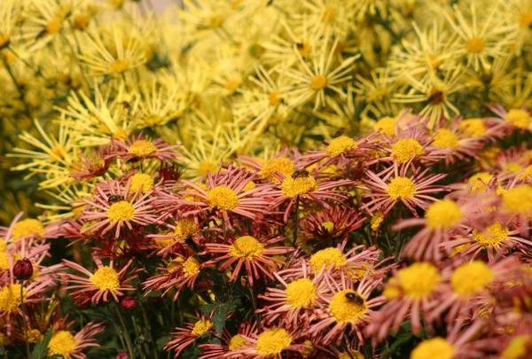 Цветут хризантемы совсем особой, южной закваски – субтропической