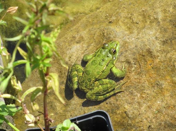 Если при спускании воды в водоеме вы случайно выкопали лягушек, жаб или тритонов, уже устроившихся на зимовку, перенесите их в безопасное место