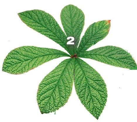 Роджерсия перистая (Rodgersia pinnata)