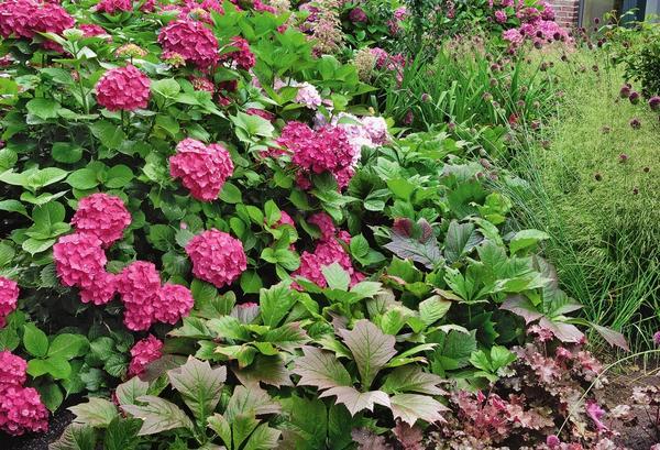 Игра красок: красноватые листья роджерсии стополистной (Rodgersia podophylla) сорта Rotlaub прекрасно гармонируют с гортензией, декоративным луком и гейхерой