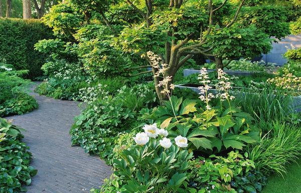 На общем фоне эффектно выделяются огромные листья роджерсии и воздушные метелки ее соцветий