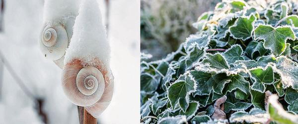 Слева: домики улиток в снежных шапочках. Справа: вечнозеленый плющ в кристалликах льда