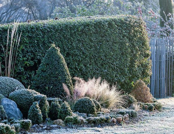Стриженые живые изгороди и сформированные кустарники сохраняют форму круглый год и наиболее выигрышно смотрятся в группе